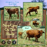 new cow on the block