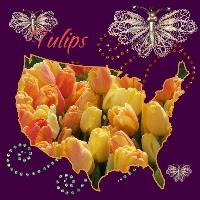 Tulips by Maggie