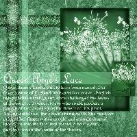 Queen Anne's Lace - One color challenge
