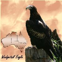 Wedgetail Eagle - Bird of Prey