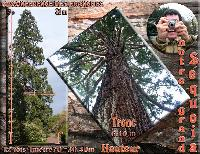 our biggest tree( sequoia)