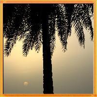 A Palm Tree