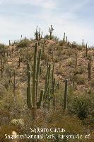 Saguaro Cactus, Sonora Desert