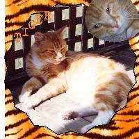 Tiger the tomcat