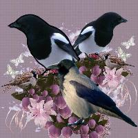 Magpie and Hooded Crow