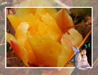 Prickly Pear Cactus Flower 2