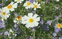 ::Calif Wildflowers::