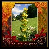 My Wild flower Gentiana Lutea
