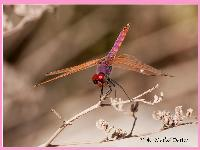 Violet Marked Darter