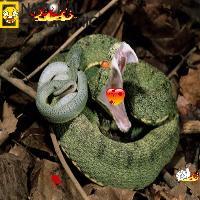 Burning viper