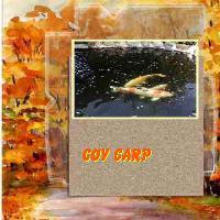 coy carp