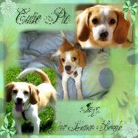 Jazz, our Lemon Beagle