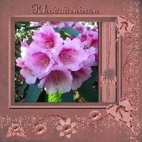 A beautiful Rhododendrons in bloom