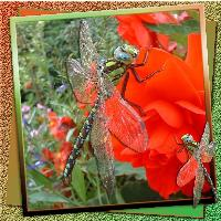 Dragonfly on begonia