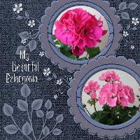 My Beautiful Pelargonia