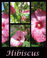 Hibiscus 2010