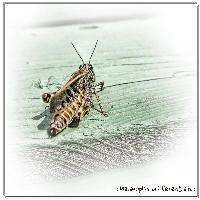 : grasshopper :