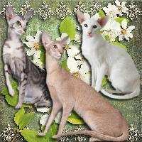 O is for...Oriental Shorthair