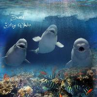 *** Beautiful Beluga Whales ***