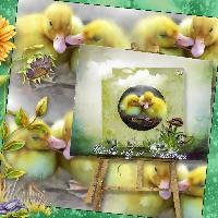 Ducks of May