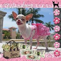 Chihuahua with Style
