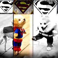 Superman Puppy