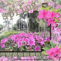 Spring Azaleas 2013