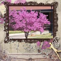 RedBud - Oklahoma Tree of Color