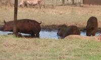 Happy pigs farm