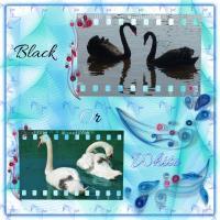 Swans Black or White