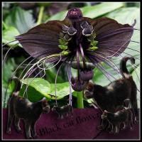 Black cat flower