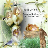 Cradle Orchid