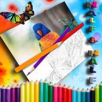 lorikeet colouring