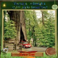 Drive Through a California Redwood Tree!