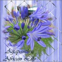 African Lily 002